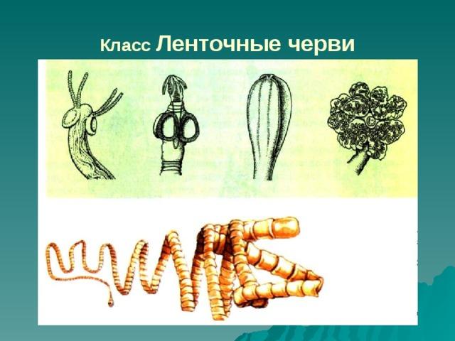 női keresztféreg keresztmetszete