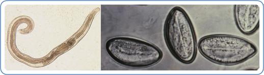 A pinworms latin neve